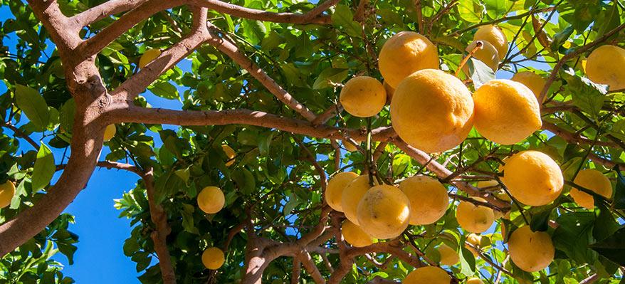 Citrons de Syracuse